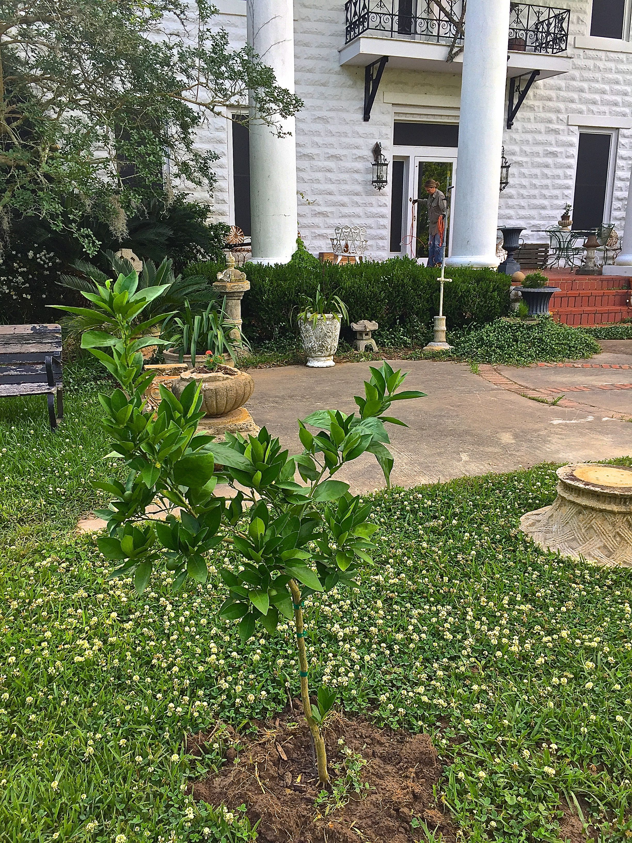 We just planted a blood orange tree in the Spring of 2016.